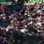 2016赤しそ畑