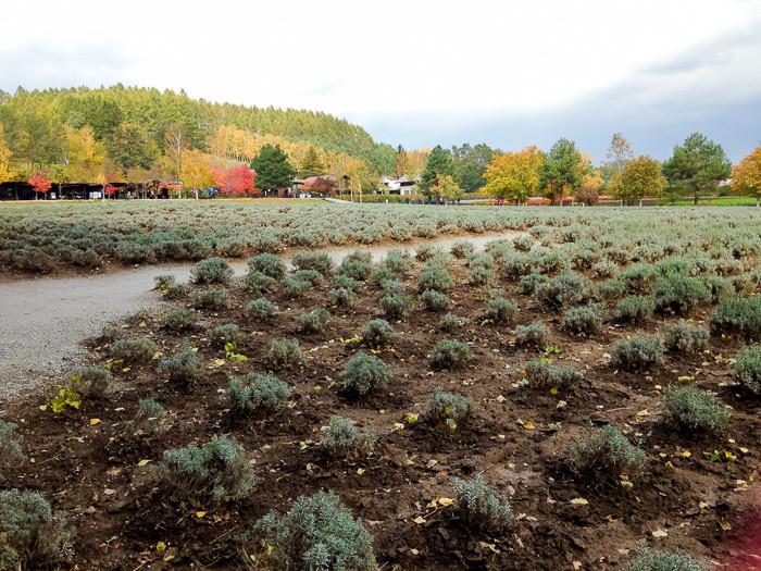 秋のラベンダー畑
