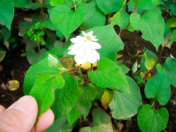 松寿仙薬草園〜ドクダミの八重