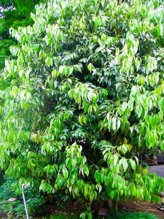 松寿仙薬草園〜肉桂の樹(立派でした)