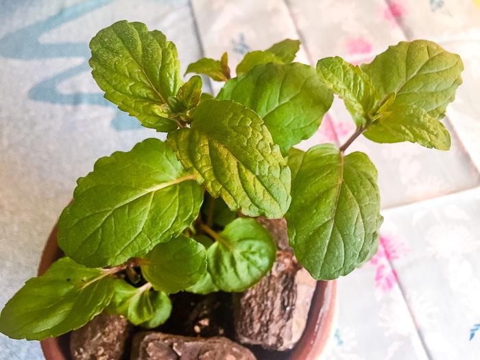 薄荷の鉢植え