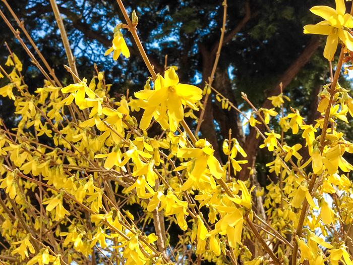 「天津感冒片」「涼解楽」に含まれる生薬の一つ連翹(レンギョウ)の花