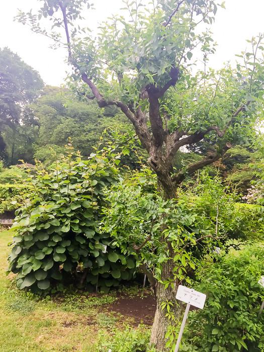 棗(なつめ)の木