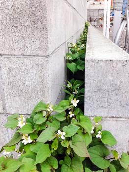 ブロック塀の間に繁殖したどくだみ